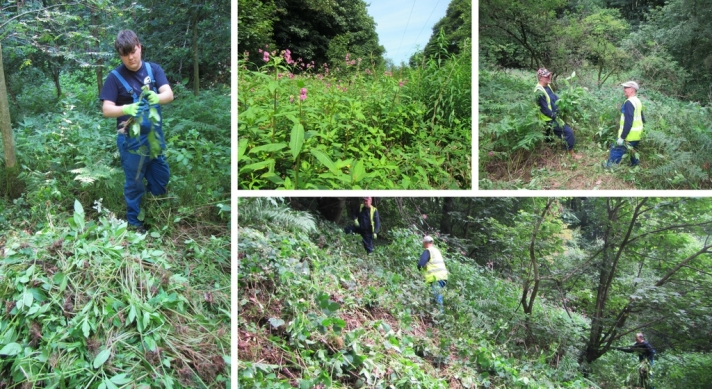 Volunteers clearing Himalayan Balsam in Bitholmes Wood